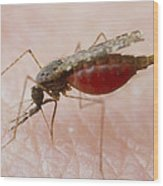 Macrophoto Of Anopheles Balabacensis, A Mosquito Wood Print