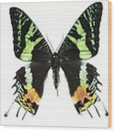 Madagascan Sunset Moth Wood Print