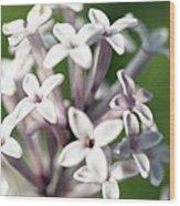 Madagascar Jasmine, Stephanotis Floribund Wood Print