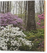Magical Azaleas At Callaway Botanical Gardens Wood Print