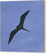 Magnificent Frigatebird In Flight Wood Print
