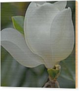 Magnolia Opening Wood Print