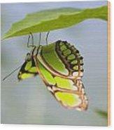 Malachite Butterfly On Leaf Wood Print