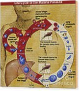 Malaria Parasite Life Cycle Wood Print by Science Source
