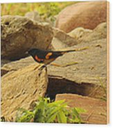 Male American Redstart On The Rocks Wood Print
