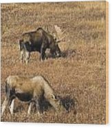 Male And Female Moose Alces Alces In Wood Print