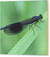 Male Banded Damselfly Wood Print