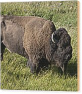 Male Bison Grazing  Wood Print