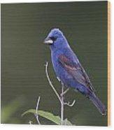 Male Blue Grosbeak Wood Print
