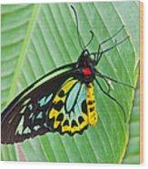 Male Cairns-birdwing Butterfly Wood Print