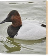 Male Canvasback Duck  Wood Print