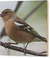 Male Chaffinch Wood Print