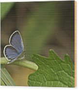 Male Eastern Tailed Blue Butterfly 3063 Wood Print