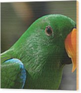Male Eclectus Parrot Wood Print