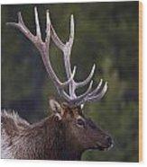 Male Elk Cervus Canadensis Wood Print