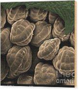 Male Fern Sporangia, Sem Wood Print