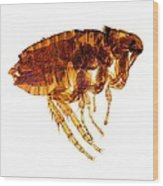 Male Flea, Light Micrograph Wood Print