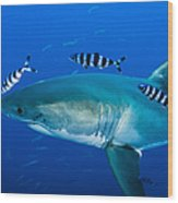 Male Great White Shark And Pilot Fish Wood Print
