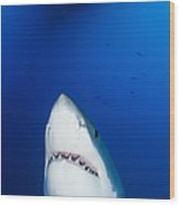 Male Great White Shark Showing Teeth Wood Print