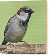 Male House Sparrow Wood Print