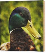 Male Mallard Duck Wood Print