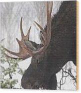 Male Moose Grazing In Winter, Gaspesie Wood Print