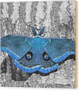 Male Moth Light Blue Wood Print