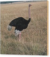 Male Ostrich With Eggs Wood Print
