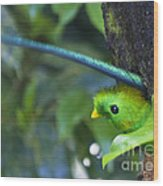 Male Quetzal Working On Nest Hole Wood Print