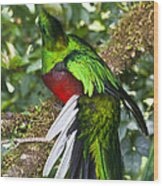 Male Resplendent Quetzal Wood Print