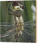 Male Southern Hawker Dragonfly Wood Print
