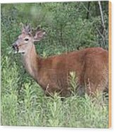 Male White Tailed Deer In A Spring Meadow Wood Print