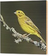 Male Yellowhammer Wood Print