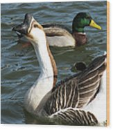 Mallard And Chinese Swan Goose - Anser Cygnoides - Featured In Wildlife Group Wood Print