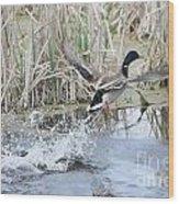 Mallard Duck Flying Wood Print