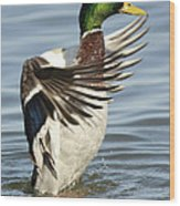 Mallard Duck Having A Flapping Good Time Wood Print