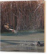 Mallard In Flight Wood Print