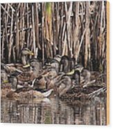 Mallards - Under Mothers Wing Wood Print