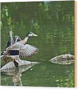 Mallards Taking Off Wood Print
