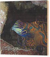 Mandarinfish Sheltering Amongst Rocks Wood Print