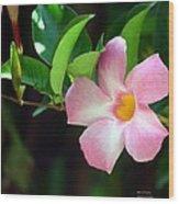 Mandevilla Pink Wood Print