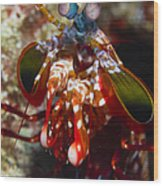 Mantis Shrimp, Australia Wood Print