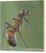 Marauder Ant Polyrhachis Sp Cleaning Wood Print