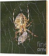 Marbled Orb Weaver Spider Eating Wood Print