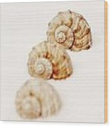 Marine Snails Wood Print