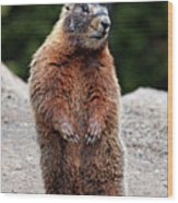 Marmot Rearing Up On Hind Legs In Yellowstone Wood Print