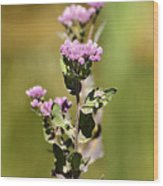 Marsh Fleabane  Wood Print