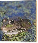 Marsh Frog Wood Print by Louise Murray