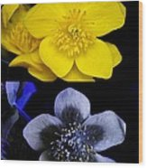 Marsh Marigold In Uv Light Wood Print by Cordelia Molloy