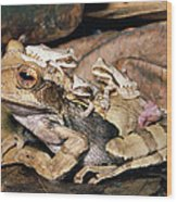 Marsupial Frog Gastrotheca Ovifera Wood Print